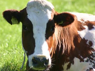 Aγελάδων και μόσχων